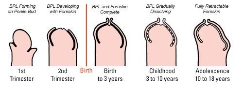 Развитие половых органов у мальчиков фото 465-887